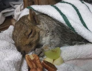 The squirrel in recovery after being removed from the birdfeeder. Photo by Melanie Piazza