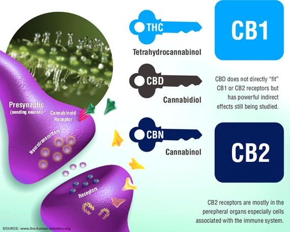 2017-01-11-1484148476-4429146-endocannabinoidsystem.png