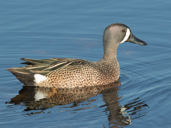 2017-01-17-1484689716-1298801-APA2016_Bluewinged_Teal_KK_Lynette_Spence.jpg