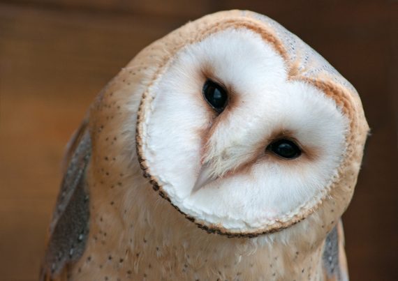 2017-01-18-1484757936-2382640-savethebarnowl.jpg