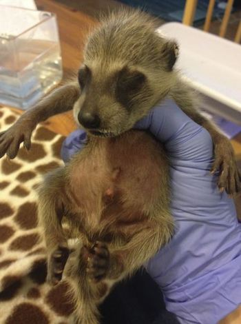 Newborn baby raccoon from Florida. WildCare/Tyler McKenna