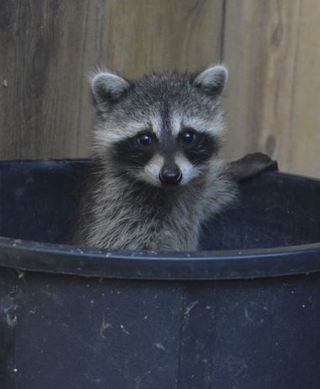 Young baby raccoons recovering in Foster Care. WildCare/Anne Barker