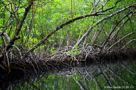 2017-02-02-1486024314-7550454-mangrove_credit_RaviSarma_CCBY2point0_CREDIT.jpg