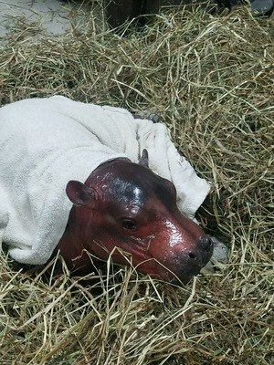 hippo baby january 24