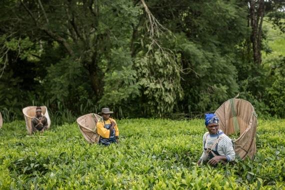 2017-02-27-1488212872-5934561-FairtradeMalawitearesize.jpg