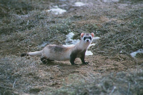 2017-03-03-1488560157-2757803-Black_footed_ferret_Wikimediacommons.jpg
