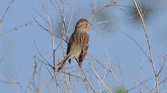 2017-03-07-1488910182-6464620-fieldsparrowwikimediacommons.jpg