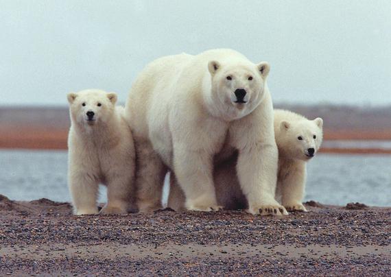 2017-04-18-1492542676-8989441-Polar_bear_with_young_usfishandwildlifeservicewikimediacommons.jpg