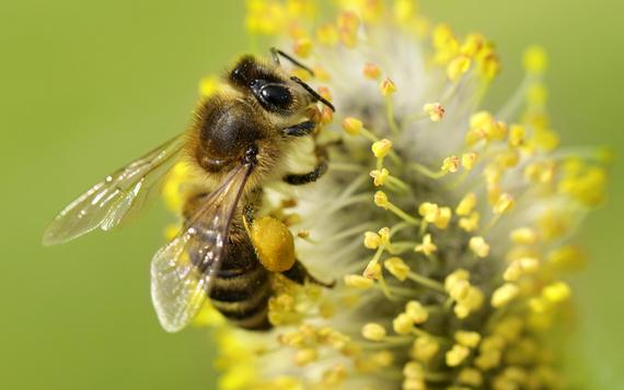 2017-04-21-1492787343-7348691-honeybeeBeesMatter.jpg