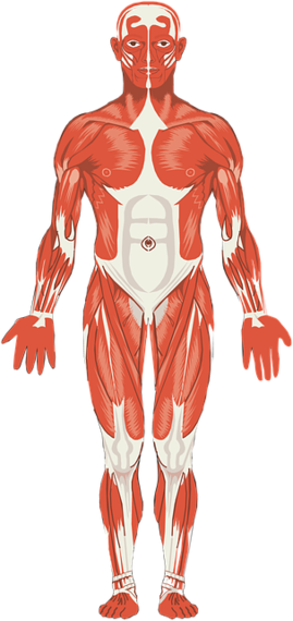 2017-05-09-1494339321-2073702-muscles1999721_640.png