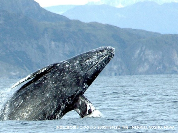 2017-06-06-1496738520-2701452-Gray_whale_Merrill_Gosho_NOAA2_CROP_2640x480.jpg