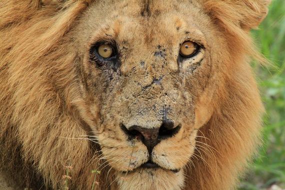 2017-06-06-1496759341-7889159-lion1198598_1280.jpg