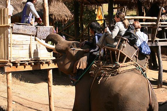 2017-08-08-1502208681-4656430-elephantinpaingivingtouristsaride.jpg