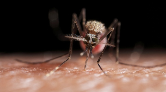 2017-08-17-1502972853-9394881-Mosquitofeeding620x346.jpg