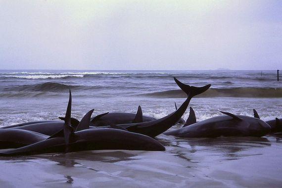 2017-09-05-1504602683-5540701-1986_beached_whales_in_Flinders_Bay_2.JPG