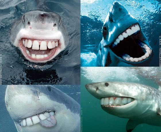 via reddit comes these amazing pictures of sharks with human choppers    Pictures Of Sharks Teeth