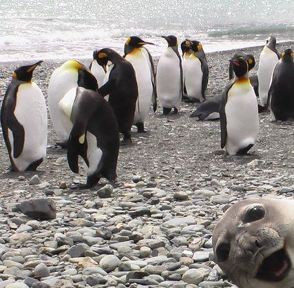 Seal Photobombs penguins