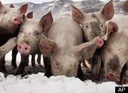 Pigs Snow