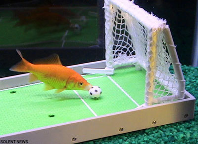 Comet the smartest fish in the world video huffpost for Coolest fish in the world