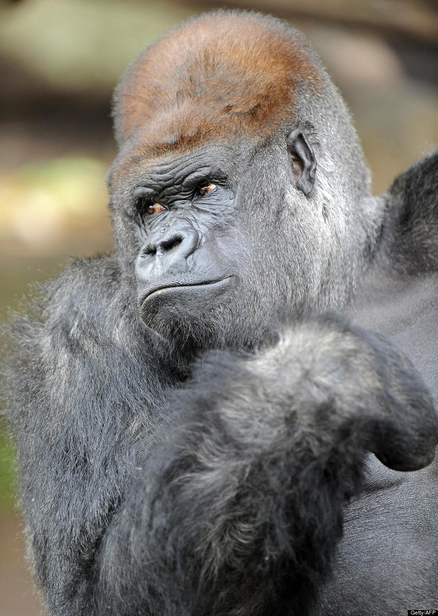 Gorilla penis hentai picture